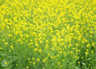 सरसों【MUSTARD】- Importence, Climate, Seed Rate, Insects, Disease And Yield
