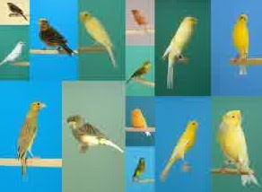 Harga burung kenari 2016