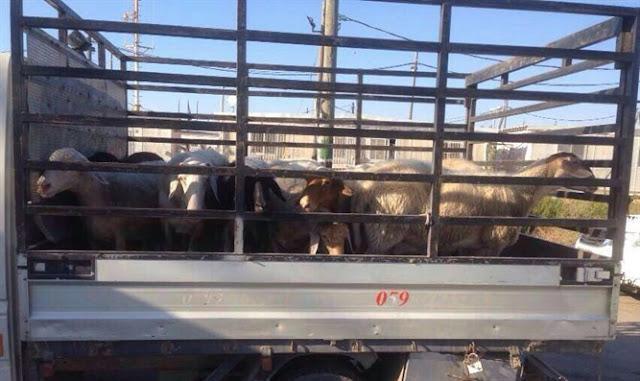 Ovejas recuperadas, fueron robadas por árabes a un agricultor judío