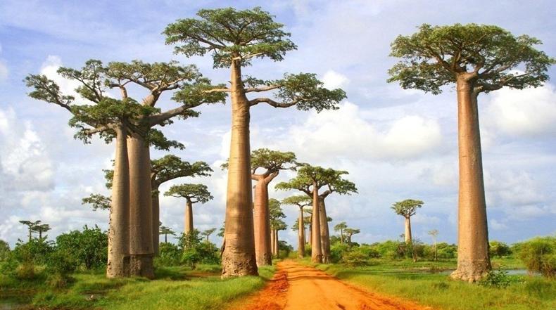 La Avenida de los Baobabs en Madagascar
