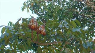 gambar buah mahoni