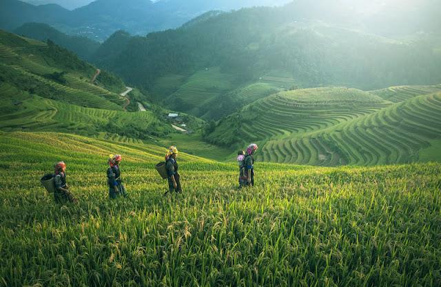 Gambar Pertanian padi di Cina dan Kamboja