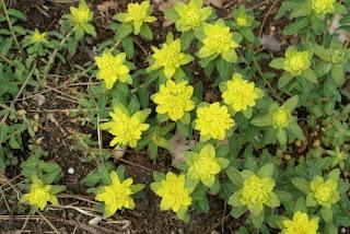 Euphorbe polychrome - Euphorbia epithymoides - Euphorbia polychroma