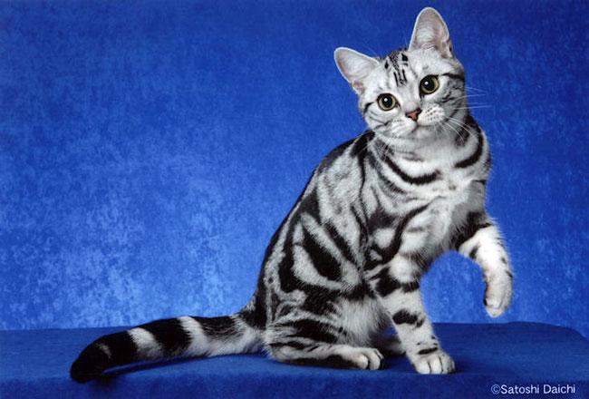 animais de  Melhores Raças de Gatos para sua Família
