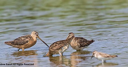 Long-billed Dowitcher ID - What To Look For
