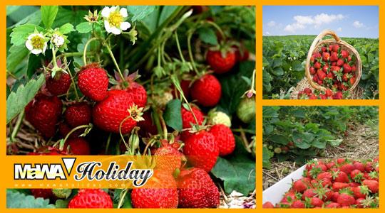 Kebun Teh Dan Kebun Stroberi Bandung? Ini Dia Surganya Pecinta Agrowisata