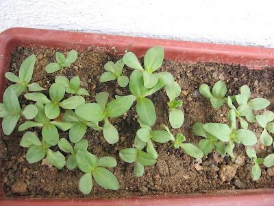 Tohumlardan Pyrethrum: Büyüyen ve Bakım 90