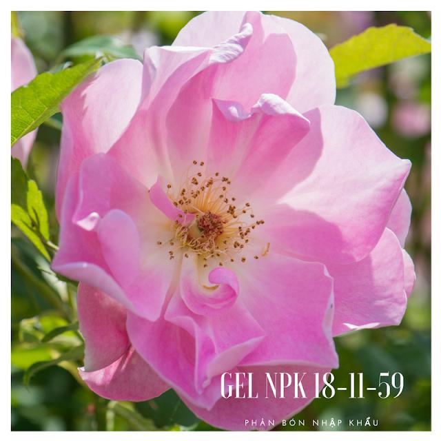 cây giống hoa hồng cổ Lady