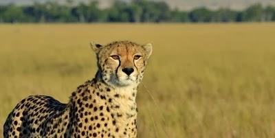 Petani Kenya kejar dan tangkap Cheetah dengan hanya berlari!