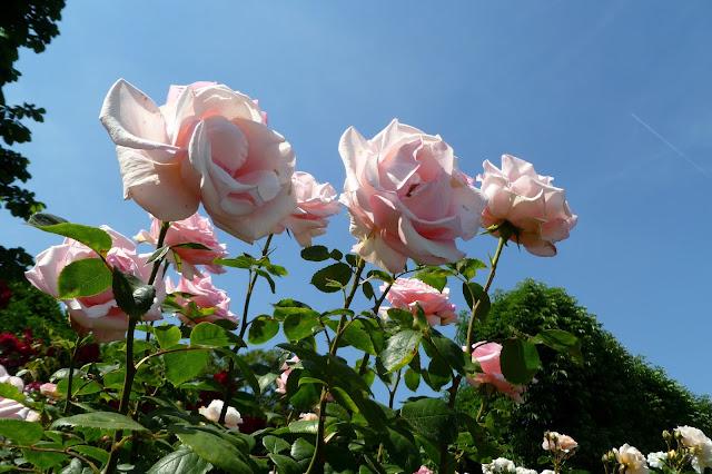 Róże w parku Volksgarten w Wiedniu