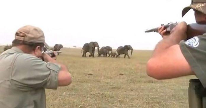 Kυνηγοί πυροβολούν ελέφαντα και η υπόλοιπη αγέλη τους πήρε στο κυνήγι