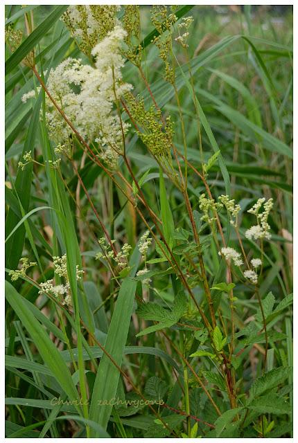 wiązówka błotna Filipendula ulmaria
