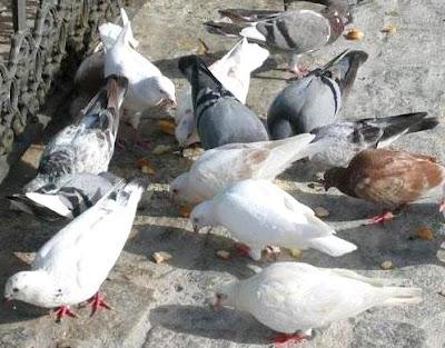Foto de palomas en plena comida
