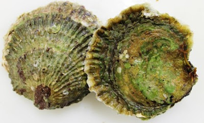 European Oyster Photo Ostrea Eulis  Belon  Ernest Hemingway's favorite