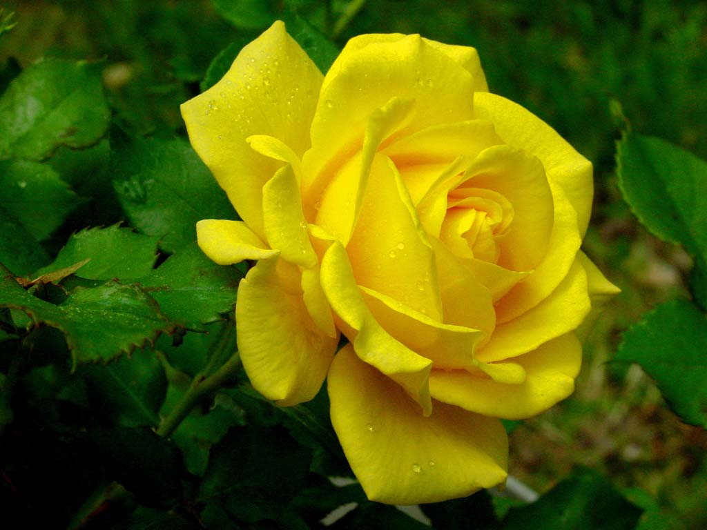 rose flowers wallpaper: Yellow Roses Wallpaper