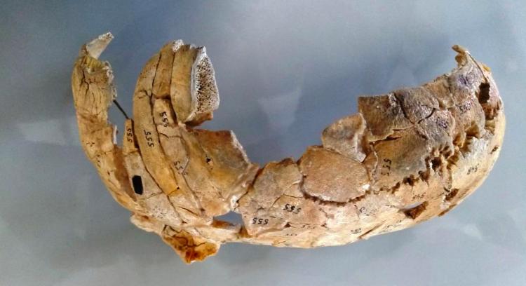 Cráneo de Mazowieckie (Polonia). Foto: J. Tomczyk.