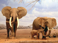 african elephant pictures Loxodonta africana