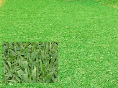 Tukang taman Surabaya Jual Rumput Golf Peking