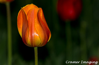 Cramer Imaging's professional quality nature photograph of an orange tulip flower against a green background in Logan, Utah