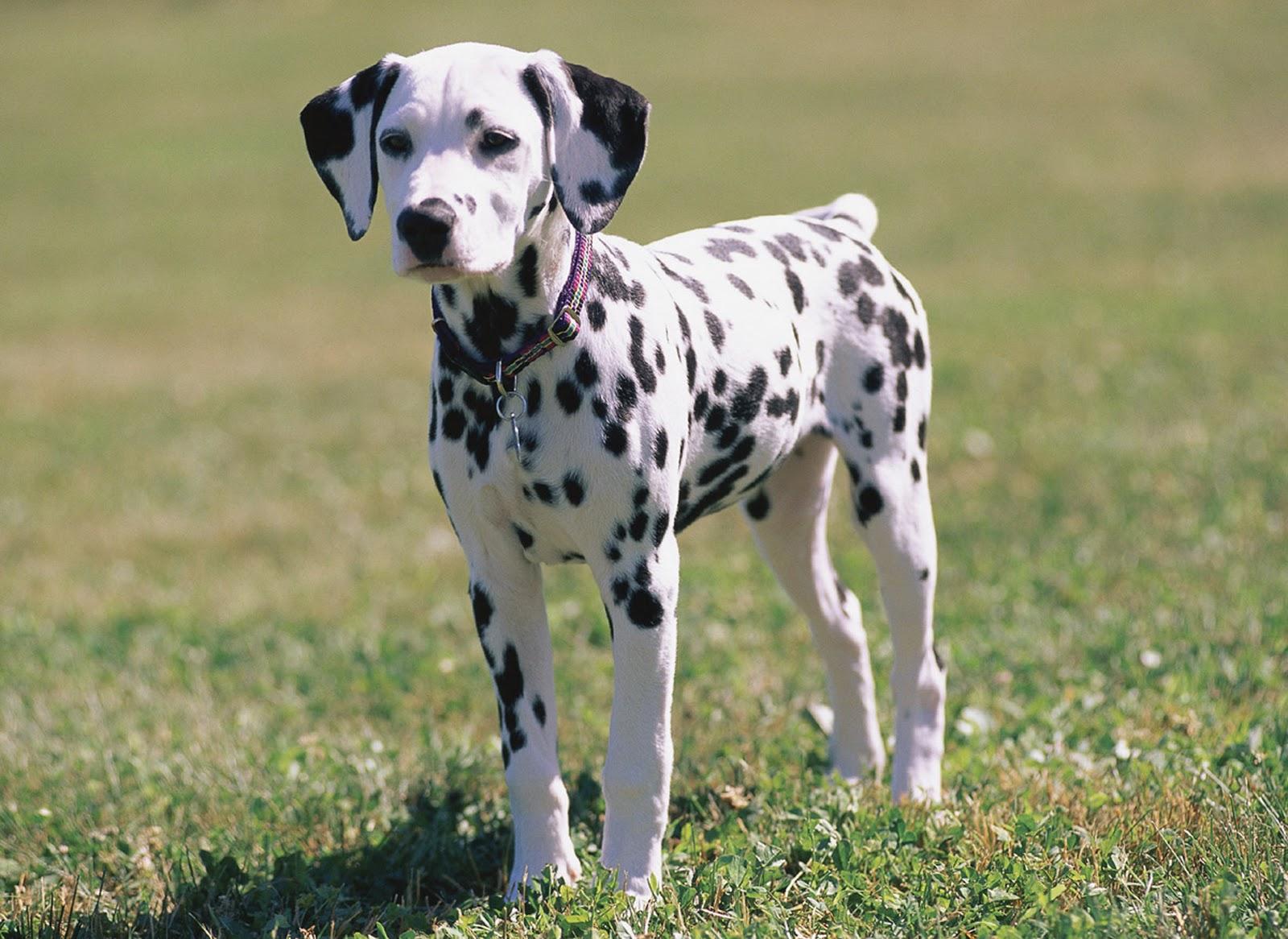 Puppy Dalmatian For Sale in New Mexico USA