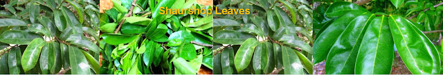 Benefits of soursop leaves