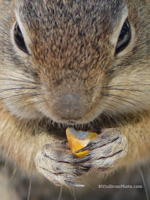 Golden-mantled Ground Squirrel eating corn