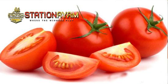 manfaat tomat untuk ayam bangkok aduan stationayam