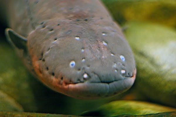 Electric eels deliver Taser-like shocks