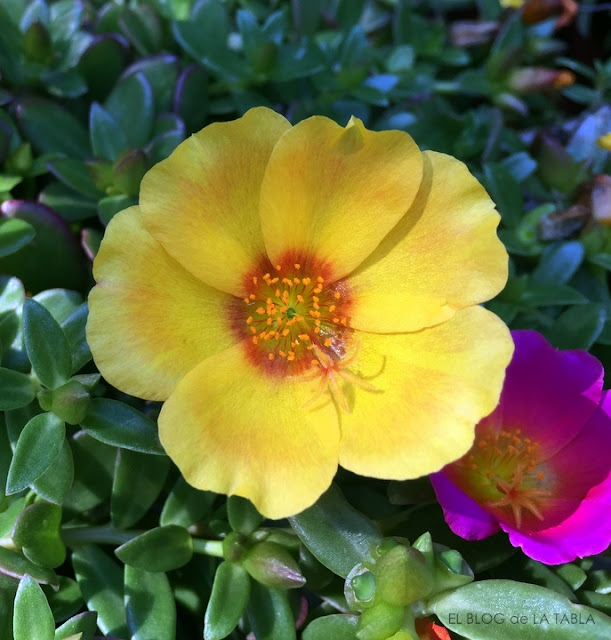 portulaca umbraticola (verdolaga) flor amarilla