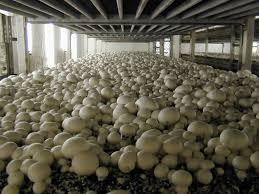 Bagaimana cara budidaya jamur merang