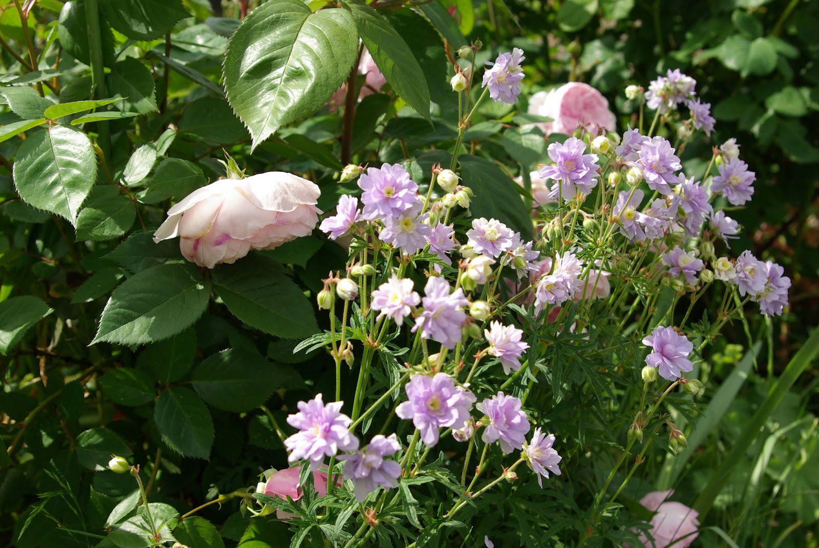 Als id s v g tale le g ranium summer skies - Quand rentrer les geraniums ...