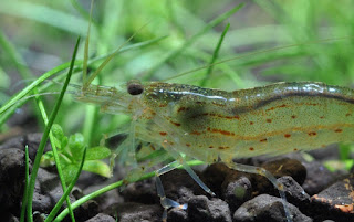 mengenal udang hias amano pemakan alga