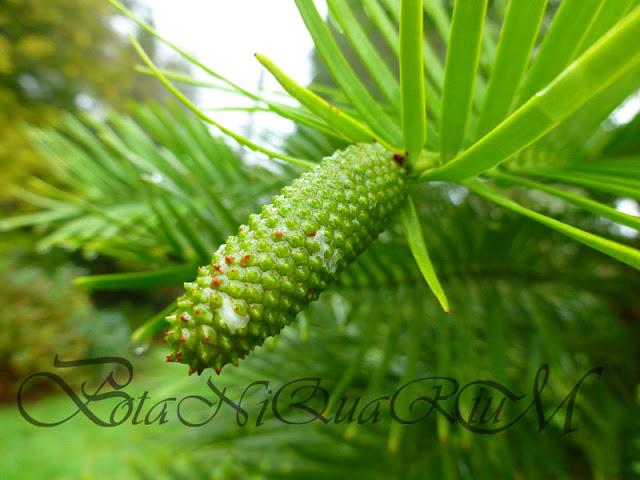 Botaniquarium - Wollemia nobilis male cone