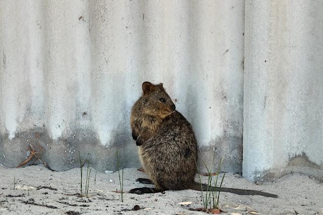 quokka rottnest island perth curitan aqalili