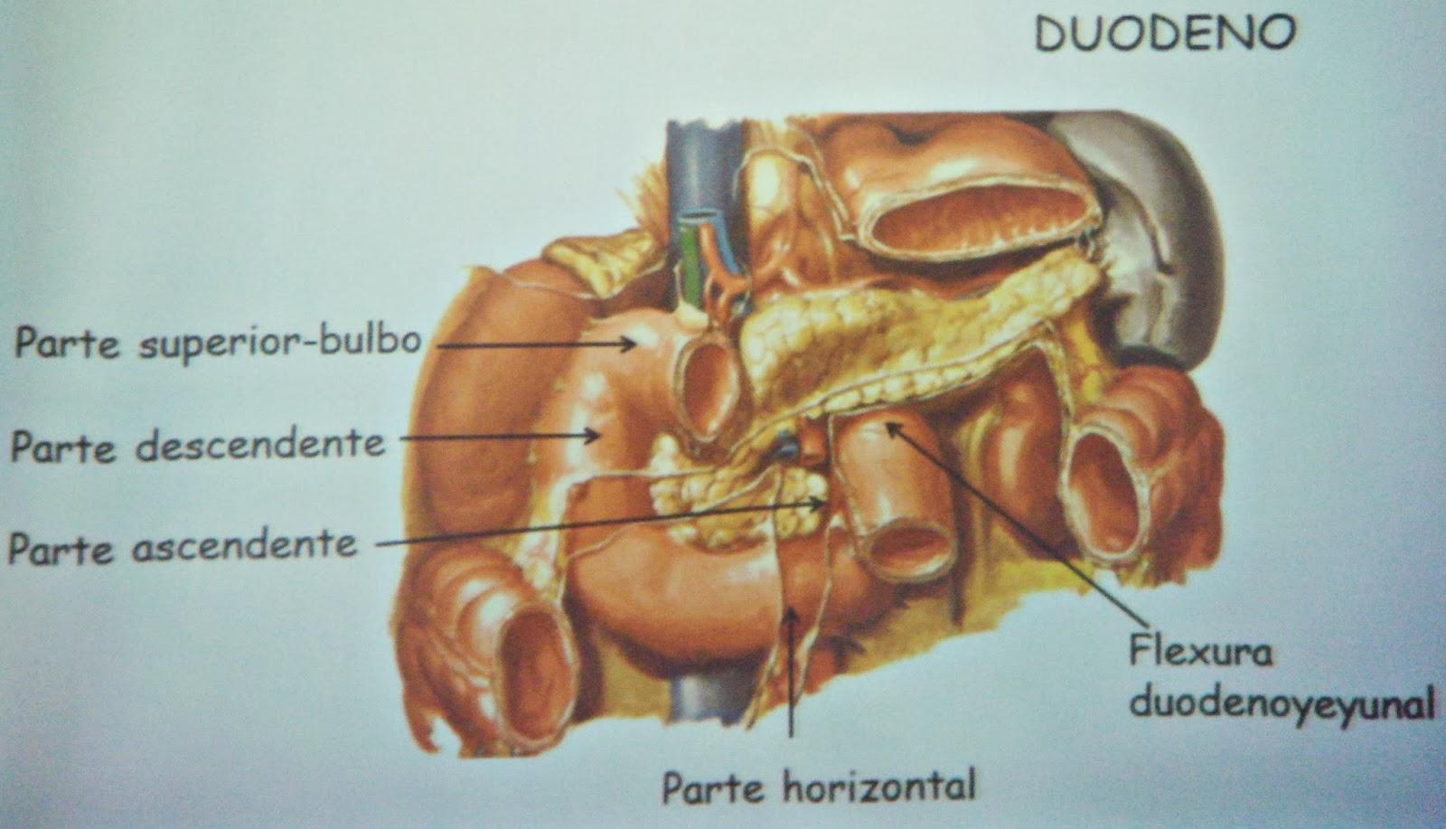Intestino delgado o tenue: partes y funciones - Sistema digestivo
