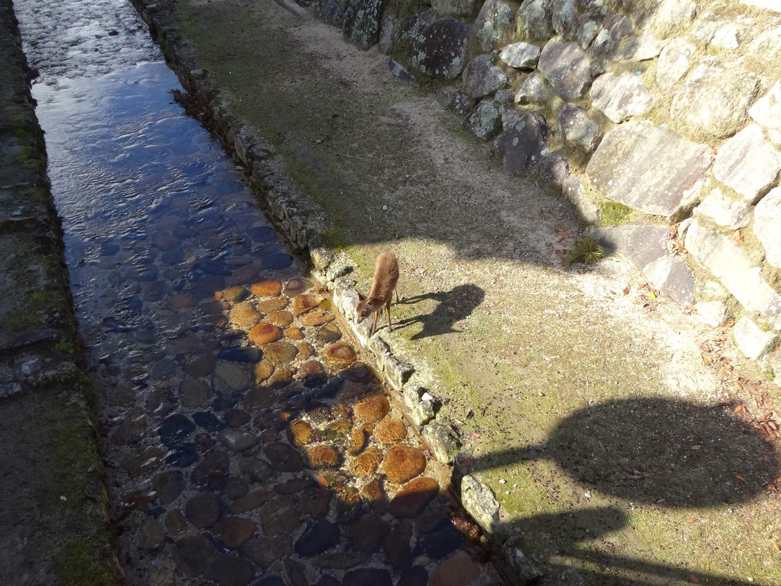 Baby deer crossing a shallow stream on Miyajima Island