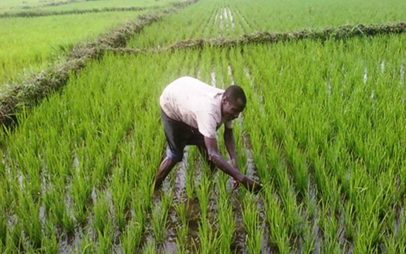Riziculture : La culture du riz au Cameroun