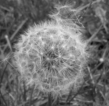 Illusztráció vershez, fekete-fehér makro fényképen egy bomlani kezdett, elszáradt pitypang leszakadt bóbitái szállnak a távolba a tavaszi széllel.