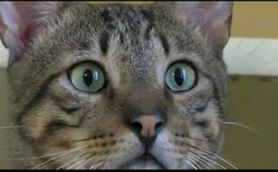 pisica cu ochi verzi