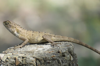 Calotes versicolor, the Oriental Garden Lizard