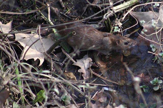 Rata en el río en Retuerto