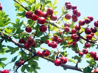 Fruto del espino albar
