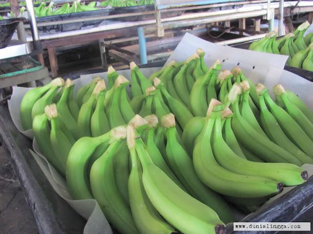 proses pengemasan pisang cavendish sunpride
