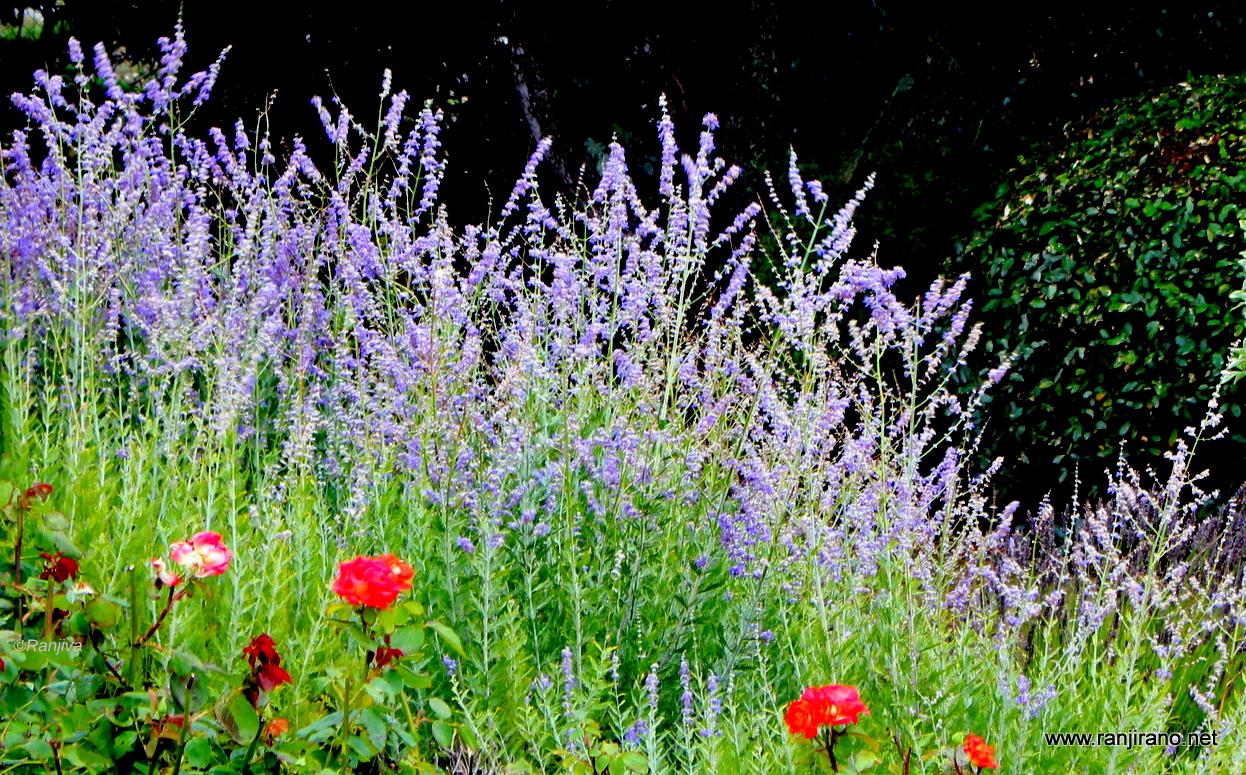 Paysages et fleurs au fil de l 39 eau - Quand couper les fleurs de lavande ...