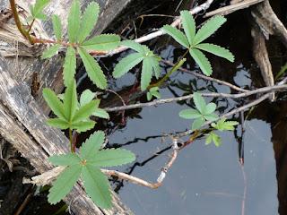 Potentille des marais - Comarum palustre - Comaret