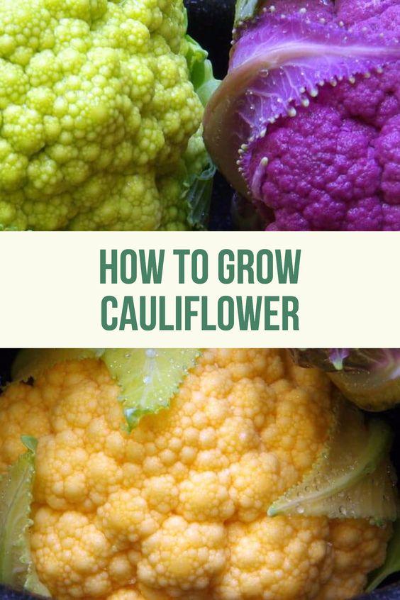 Helpful Tips How To Grow Cauliflower Seeds And Plants