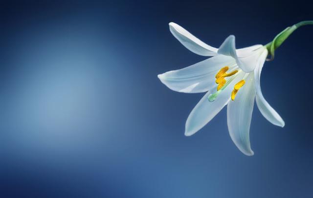 White Flower  Botany Flora Blooming In Spring Season HD Wallpaper