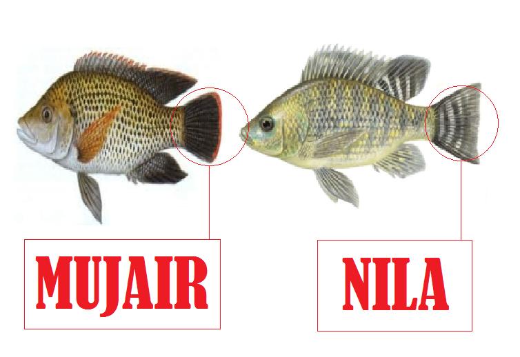 Cara Membedakan Ikan Nila Jantan Dan Betina Urban Hidroponik