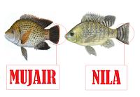 nila mujair