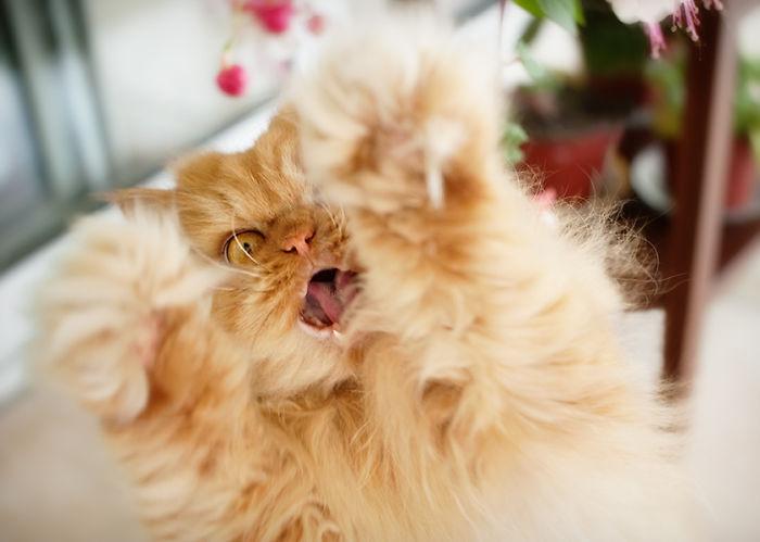 garfi-evil-grumpy-persian-cat-7